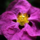 Pink Rock Rose by Astrid Ewing Photography