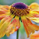 Cheerful Helenium by Astrid Ewing Photography