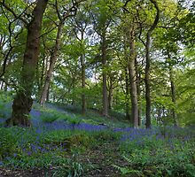 Bluebell forest by chris2766