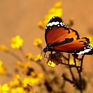Danaus chrysippus, also known as the plain tiger or African monarch (Free State, South Africa) by Qnita