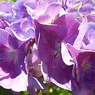 Purple Hydrangea by Kashmere1646