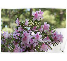 Pink Azalea Blooms Poster
