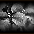 Dark Geranium Flowers by kkphoto1
