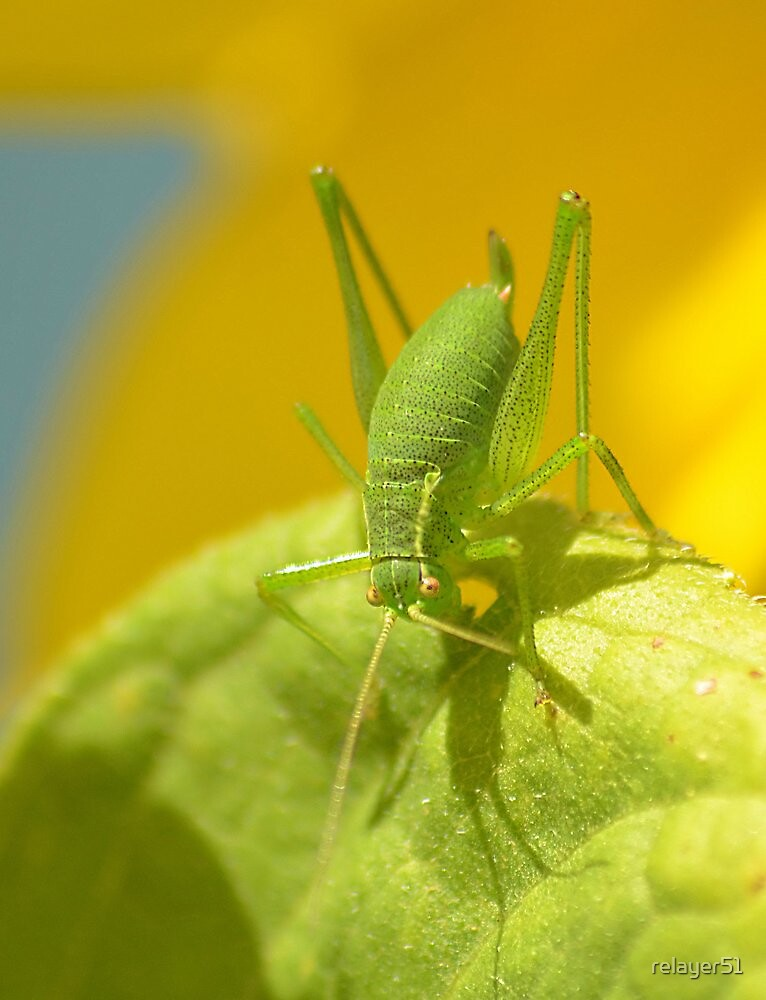Speckled Grass Hopper  by relayer51