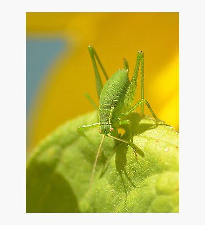 Speckled Grass Hopper  Photographic Print