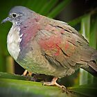 White fronted ground dove by Dennis Wetherley