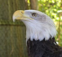 Bald Eagle by virginian