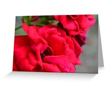 Macro on red roses petals. Greeting Card