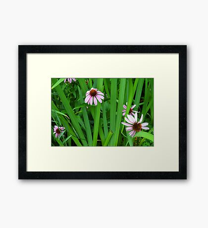 Pink large flowers in the grass. Framed Print