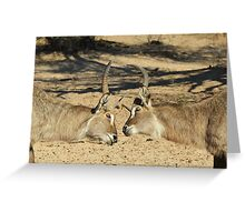 Waterbuck - African Wildlife Background - Fighting Eyes Greeting Card