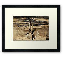 Waterbuck - African Wildlife Background - Locking Horns Framed Print