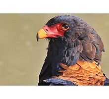 Bateleur Eagle - African Wildlife - Colorful Power Photographic Print