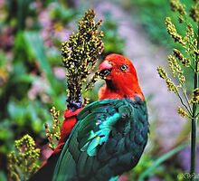 Australian King Parrot by wallarooimages