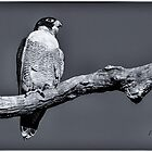 Peregrine Falcon in black & white by Pete Evans