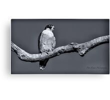 Peregrine Falcon in black & white Canvas Print