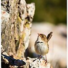 Wren on a rock by Pete Evans