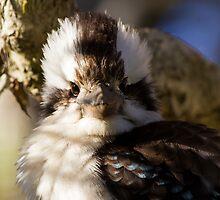 Kookaburra Attitude by byronbackyard