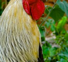 Cockerel rooster closer Sticker