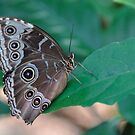 Blue Morpho underside butterfly color photo 1 by Jason Franklin