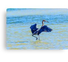 Reddish Egret On The Hunt Canvas Print