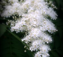 Japanese Spirea by kkphoto1