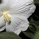 White Hibiscus by aprilann