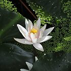water lily by irishgirl7
