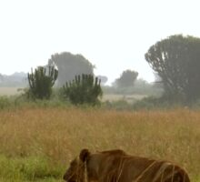 Kenya wildlife before QENP - lioness going for a walk Sticker