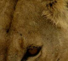 pregnant lioness eyes Sticker