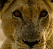 pregnant lioness glaring Sticker
