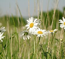 Daisies in field  by areyarey