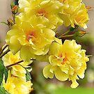 Yellow Roses by Cee Neuner