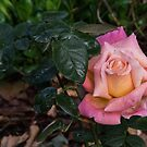 Hybrid Tea Rose Chicago Peace after rain Leith Park Victoria 20160528 7017  by Fred Mitchell