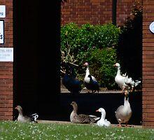 Geese Allowed........ by lynn carter