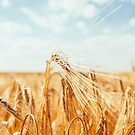 Golden field by Hudolin