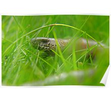 Venturing out slowly! A Slow worm comes out to say hi Poster
