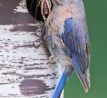 Bluebird with Grasshopper for Nestlings by Bonnie T.  Barry