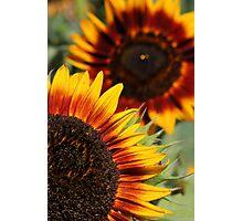 Velvet Queen Sunflowers Photographic Print