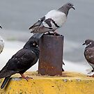 Relaxing Pigeons by henuly1