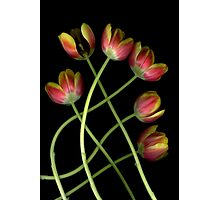 Tulip Curves Photographic Print