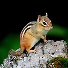 Mr Chipmunk by Don Rankin