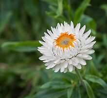 Bloom of a strawflower by alan tunnicliffe
