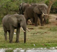 grazing herd of elephants Sticker