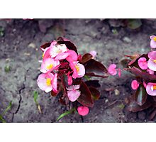 Small pink flowers on dry land. Photographic Print