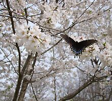 Butterfly on Yoshino Cherry Tree by StarryGardens