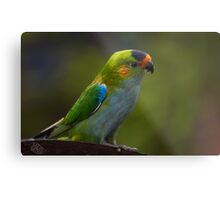 Purple-crowned Lorikeet Metal Print