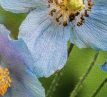 A Trio of Blue Poppies Sticker