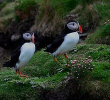 What will we do now??  -  PUFFINS   Shetland Islands by Leslie-Ann
