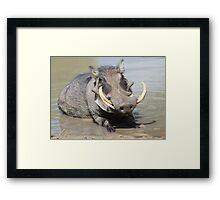 Warthog - African Wildlife Background - Summer Swim Framed Print