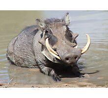 Warthog - African Wildlife Background - Summer Swim Photographic Print